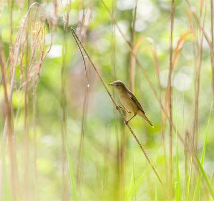 Reed Warbler  (Acrocephalus scirpaceus) -- Saint Louis / France