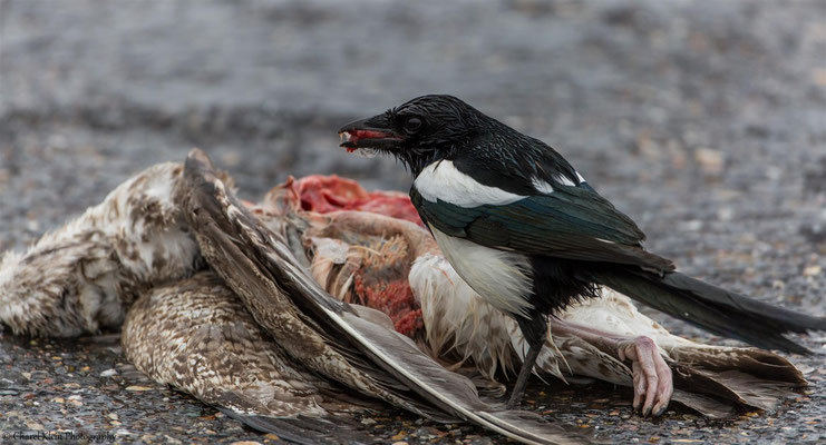 Common Magpie (Pica pica) -- Zeeland / Netherlands -- December 2014