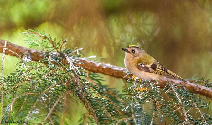Goldcrest     (Regulus regulus)  -- Luxembourg