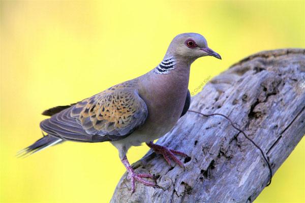 Turtle Dove (Streptopelia turtur) -- Camargue / France