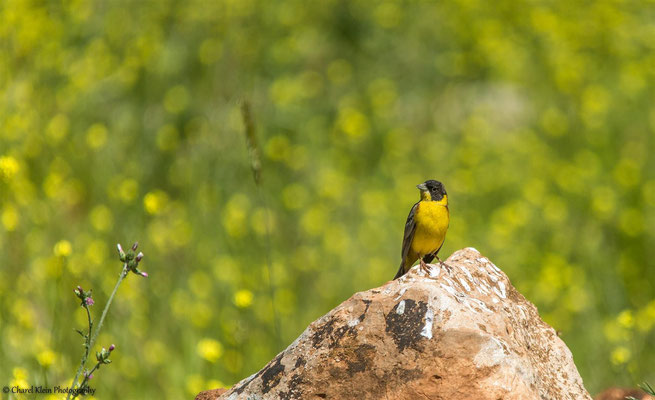Black-headed Bunting    (Emberiza melanocephala)    --    Birdingtrip Turkey 2015