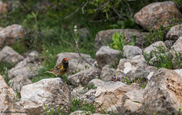 Red-fronted Serin (Serinus pusillus) -- Birdingtrip Turkey 2015