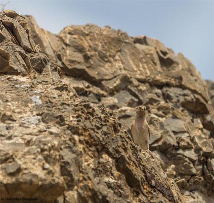 Mongolian Finch    (Bucanetes mongolicus)    --    Lake Van / Birdingtrip Turkey 2015