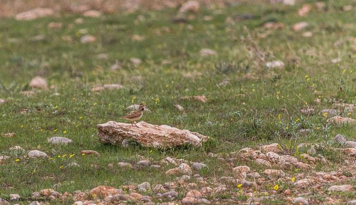 Bimaculated Lark (Melanocorypha bimaculata) -- Birdingtrip Turkey 2015