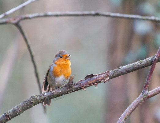 European Robin     (Erithacus rubecula)    --  Luxembourg