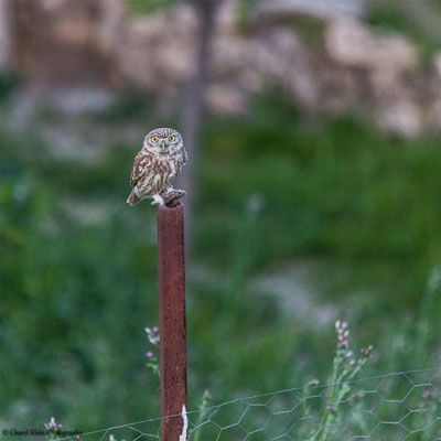 Little Owl ssp. lillith    (Athene noctua lillith)    -- Birdingtrip Turkey 2015