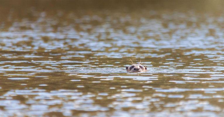 Riesenotter  |  Giant otter (Pteronura brasiliensis) -- Peru / Centro De Rescate Taricaya