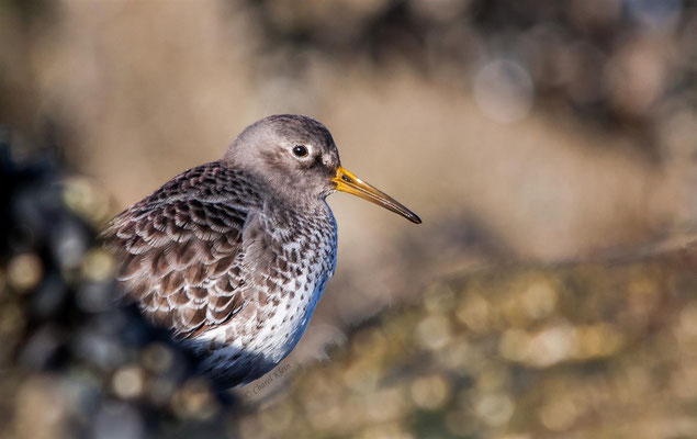 Purple Sandpiper (Calidris maritima) -- Zeeland / Netherlands -- December 2013