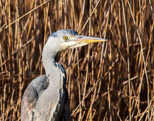 Grey Heron (Ardea cinerea) -- Camargue / France-- Zeeland / Netherlands