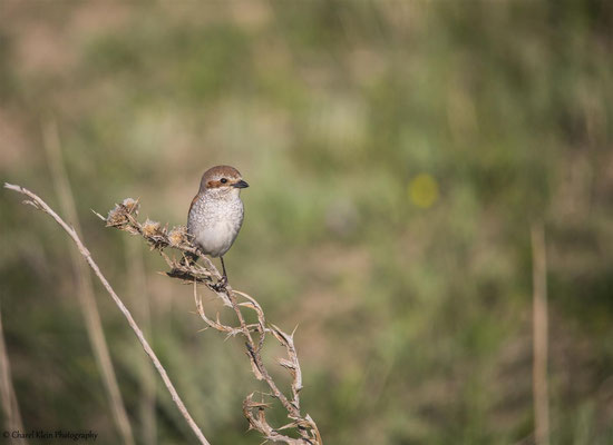 Red-backed shrike   (Lanius collurio)  --  Turkey