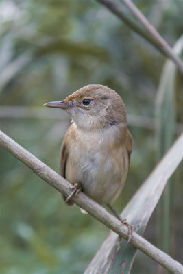 Reed Warbler (Acrocephalus scirpaceus) -- Luxembourg