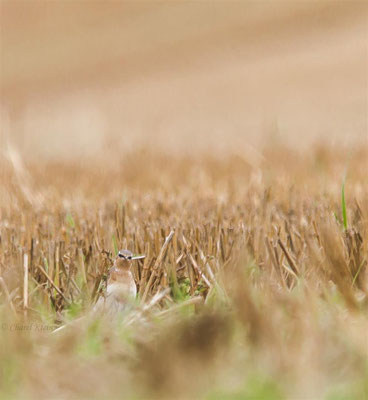 Northern Wheatear         (Oenanthe oenanthe)    --    Luxembourg