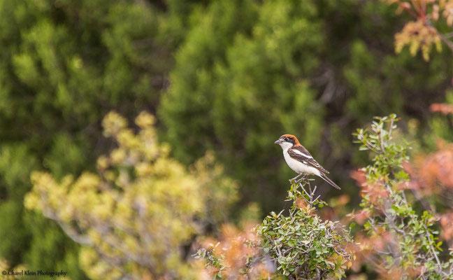 Woodchat Shrike    (Lanius senator)   -- Turkey