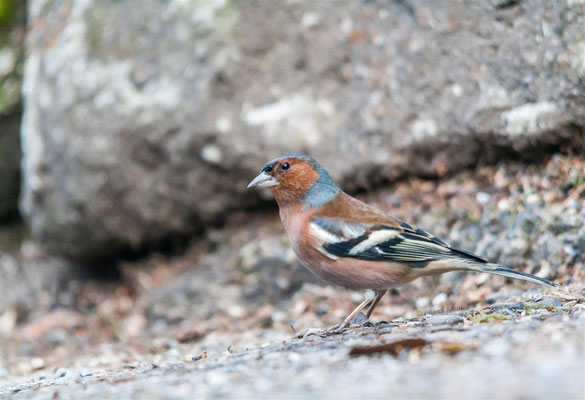 Common Chaffinch (Fringilla coelebs) -- Luxembourg