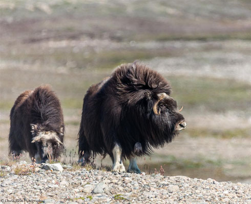 Muskox    (Ovibos moschatus)    --   Traill / Karupelv Valley Project / Greenland   -- 2015