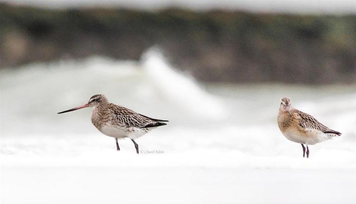 Bar-tailed Godwit (Limosa lapponica) -- Zeeland / Netherlands -- Dezember 2013