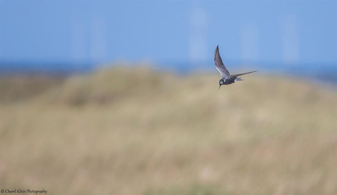 Black Tern (Chlidonias niger) -- Darss / Germany -- September 2014