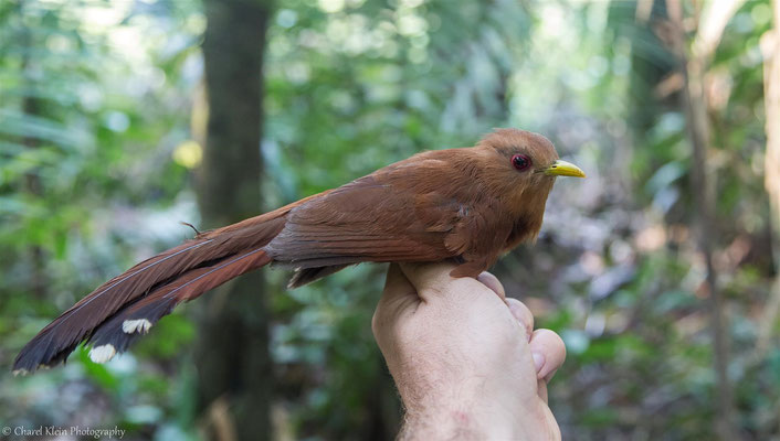 Little Cuckoo (Coccycua minuta) -- 2016