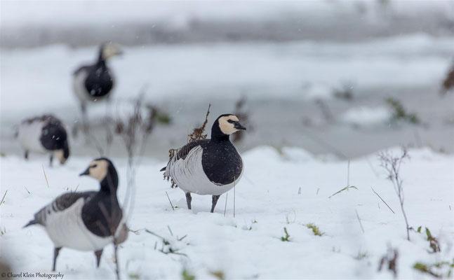 Barnacle Goose  (Branta leucopsis) --  Zeeland / Netherlands -- December 2014