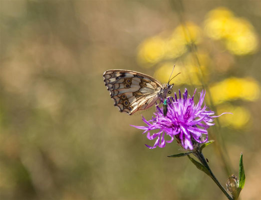 Marbled White     -- Kaiserstuhl / Germany