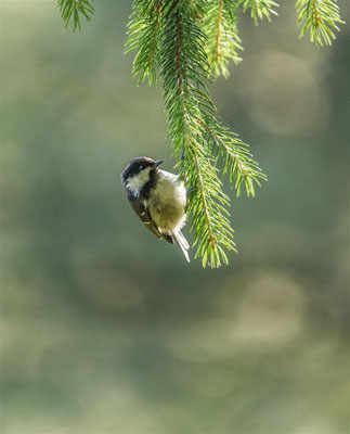 Coal Tit   (Periparus ater)  -- Belchen | Germany