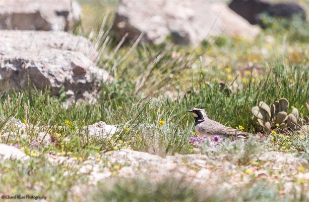 Horned Lark (Eremophila alpestris penicillata) -- Birdingtrip Turkey 2015