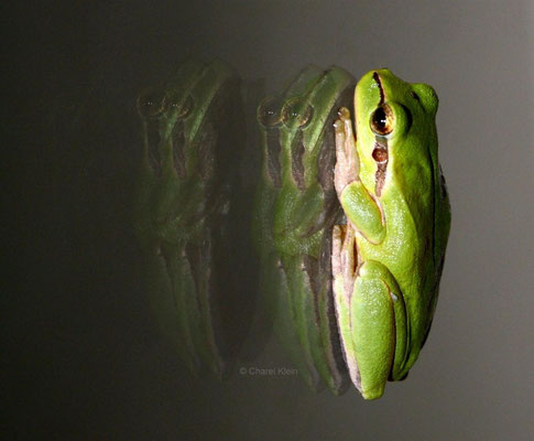 European tree frog --Camargue/France