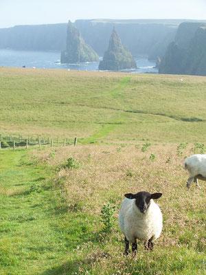 moutonmouths à Duncasby Head
