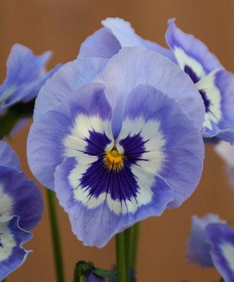 Stiefmütterchen violett-weiß