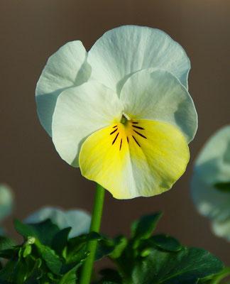 Hornveilchen weiß-gelb