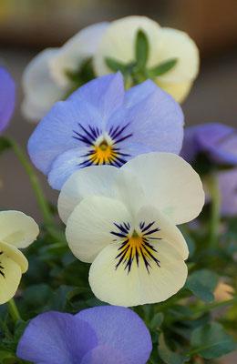 Hornveilchen eisblau-weiß