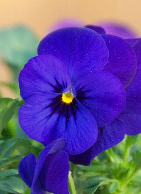 Hornveilchen violett