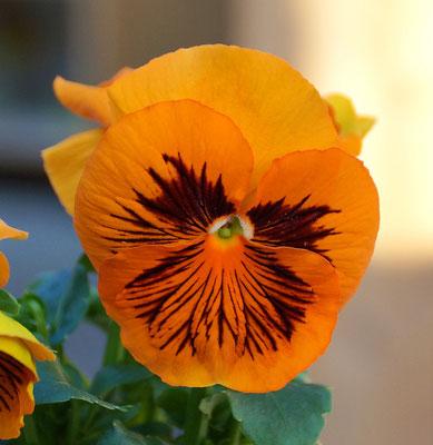 Stiefmütterchen orange