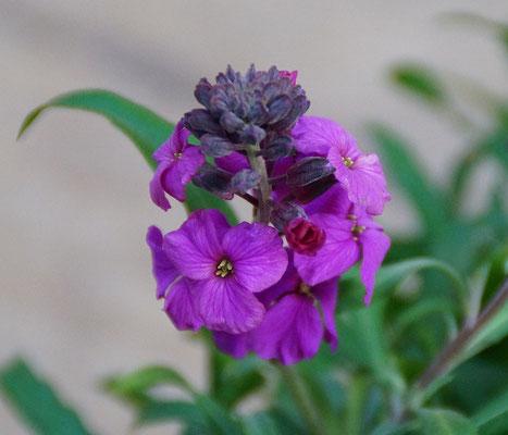 Goldlack violett