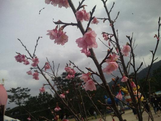 沖縄の桜は1月から咲いてます。