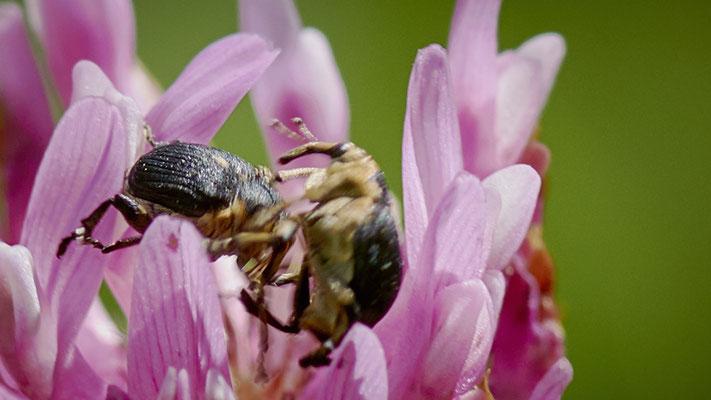 Rauhe Sitten bei den Rüsselkäfern