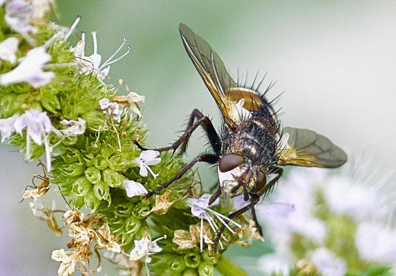 Fliege (?)  auf Minze im Eichelmändliland