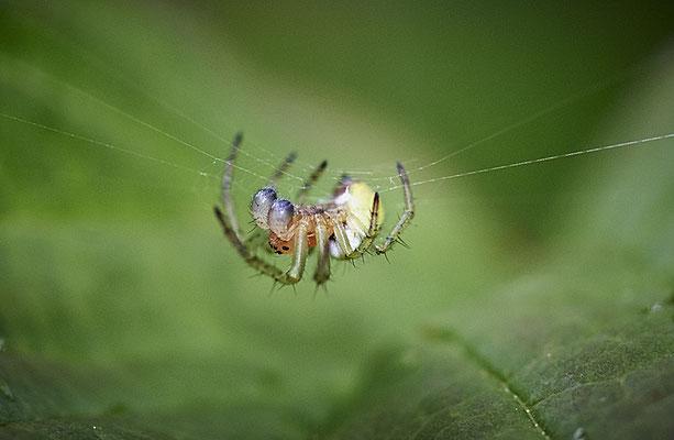 Spinne im Eichelmändliland