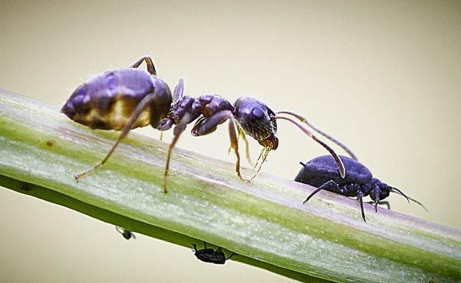 Ameise und Blattlaus im Eichelmändliland