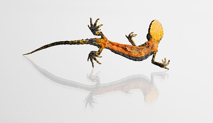 Mumifizierter Salamander bauchseitig