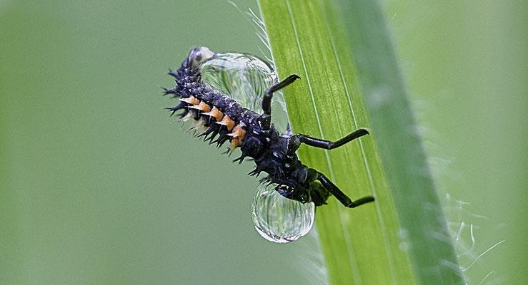 Marienkäferlarve im Eichelmändliland