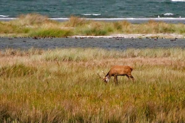 vom Aussichtsturm aus waren jüngere Hirsche am Strand zu beobachten.