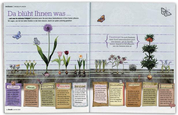 """Infographik für FREUNDIN Leichter Leben Motiv """"Zwiebelblumen""""  © Caroline Ronnefeldt"""