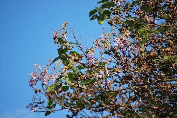Paulownia Ast, Blauglockenbaum Ast