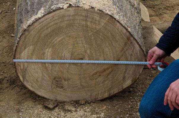 16 Jahre alte Paulownia mit 66 cm Brusthöhendurchmesser (BHD)