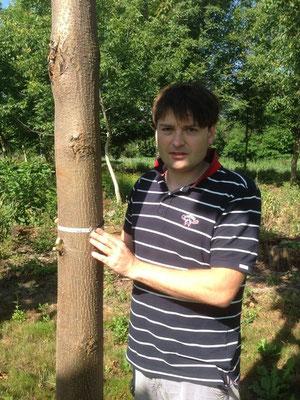 3 Jahre alte Paulownia - 14 cm Brusthöhendruchmesser (BHD)