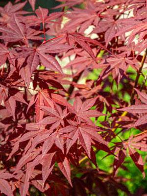 Fächerahorn - Herbstfärbung