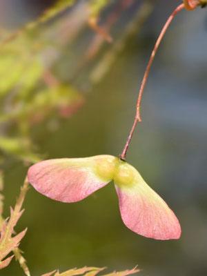 Fächerahorn - Samen