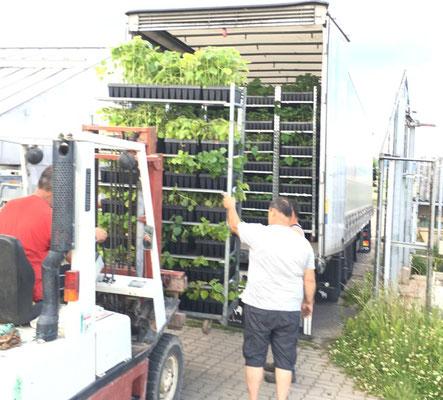 Pflanzen für eine ca. 50ha Paulownia Plantage werden in einen Sattelzug verladen