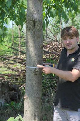 4 Jahre alte Paulownia - 19 cm Brusthöhendruchmesser (BHD)